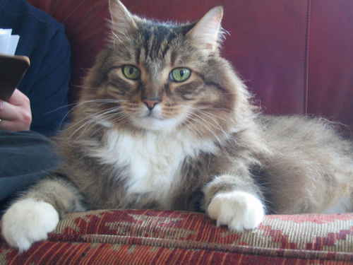 very handsome Maine coon cat