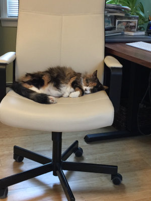 calico cat napping on a desk chair